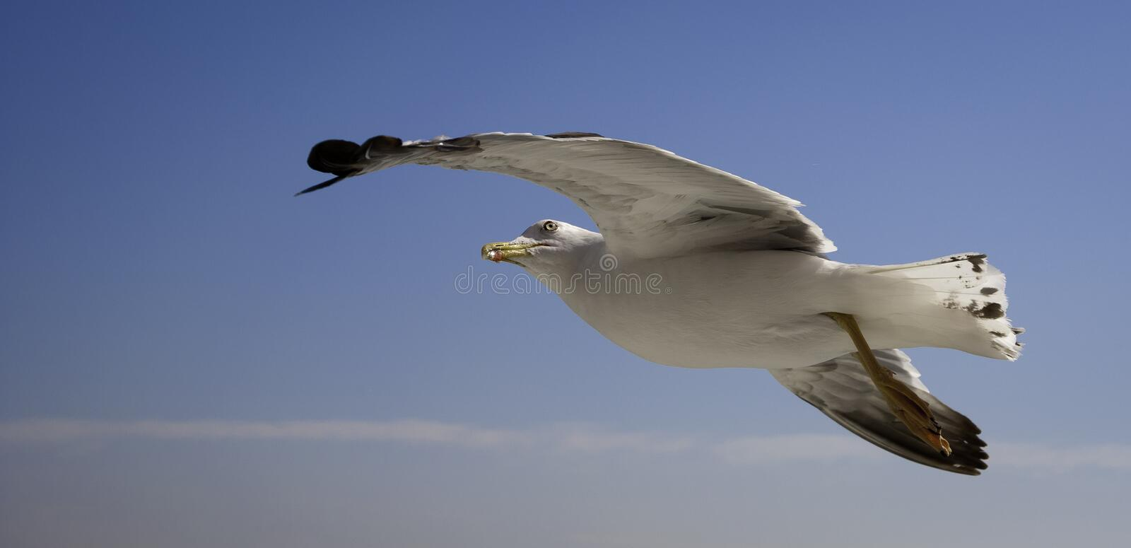 Sea gull flying in a blue sky with white clouds, l royalty free stock photography