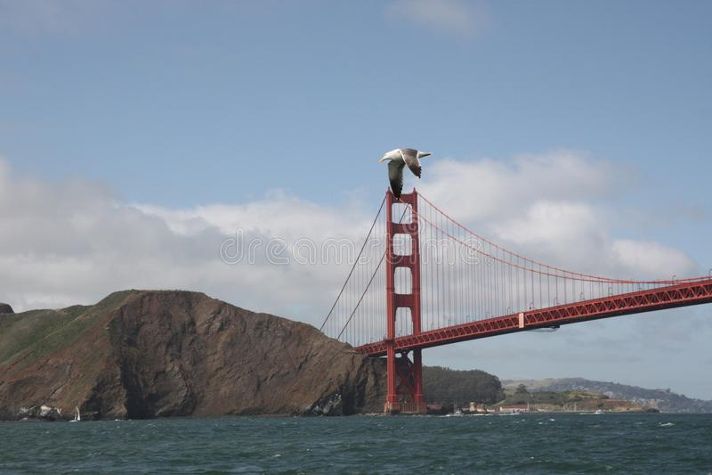 Sea gull flying over Golden Gate Bridge stock photography