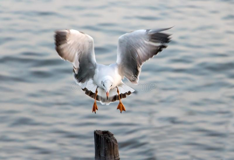 A sea gull flying over the sea at sunset stock photos