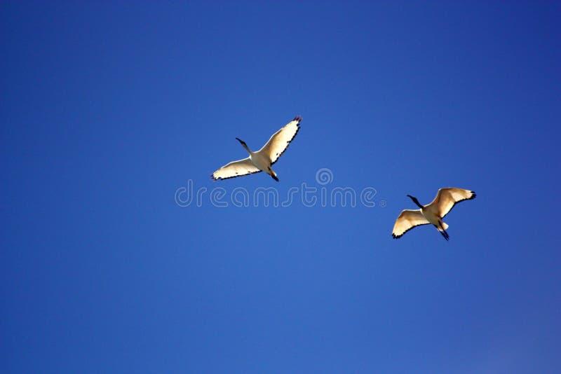 Sea Gull Flying Under Blue Sky during Daytime stock photo