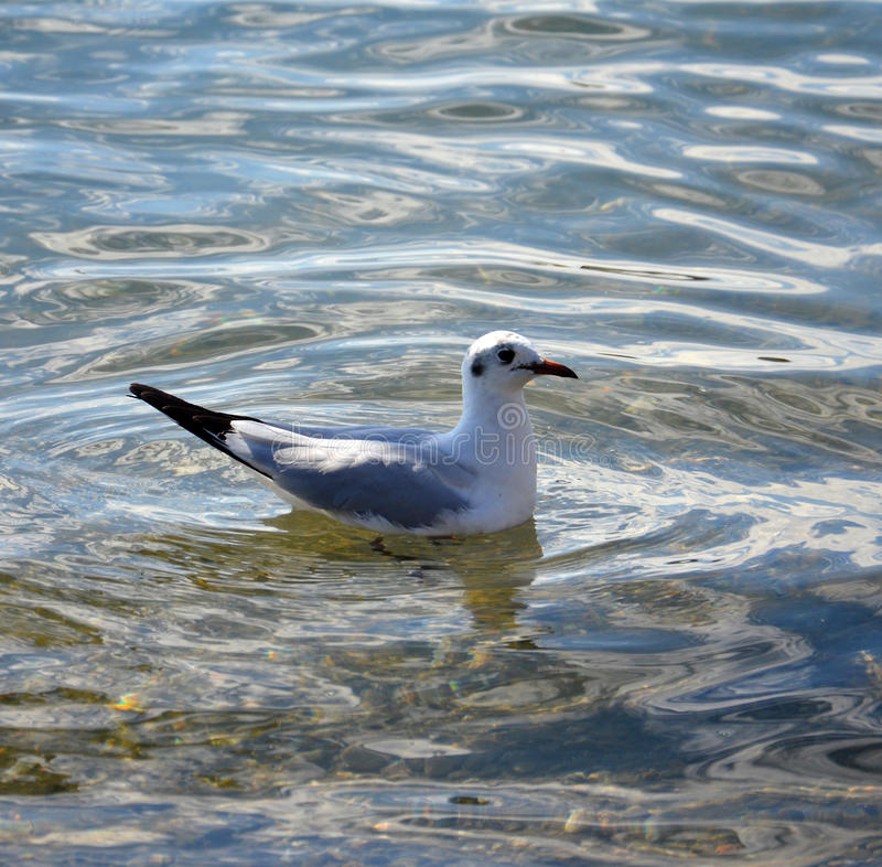 Free Sea Gull In A Water Royalty Free Stock Images - 50995159