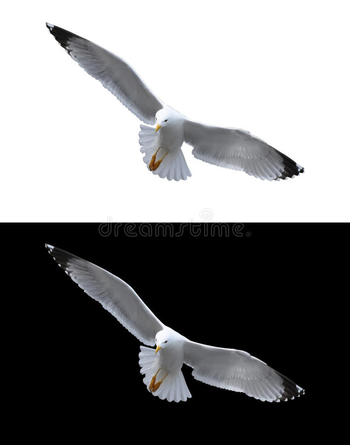 Sea gull isolated royalty free stock images