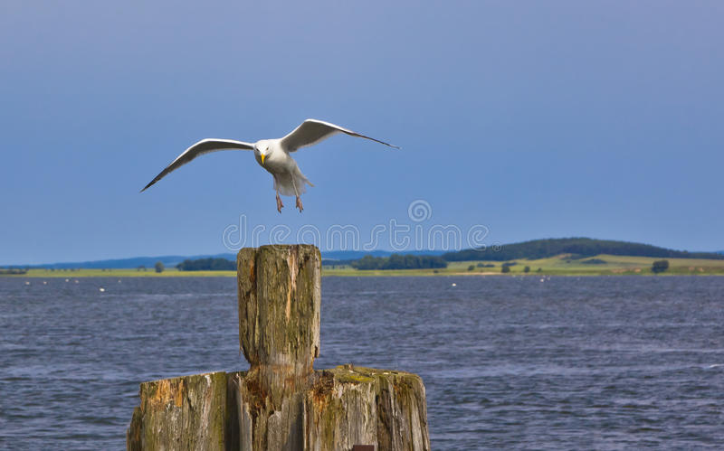 Download Sea gull stock photo. Image of animal, birds, background - 38895976