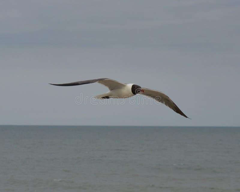 Sea Gull over ocean royalty free stock photos