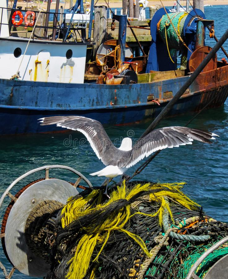 Sea gull perches on a roll of nets and ropes where it`s been harvesting bits of fish from a recent catch with rusted fishing boat stock image
