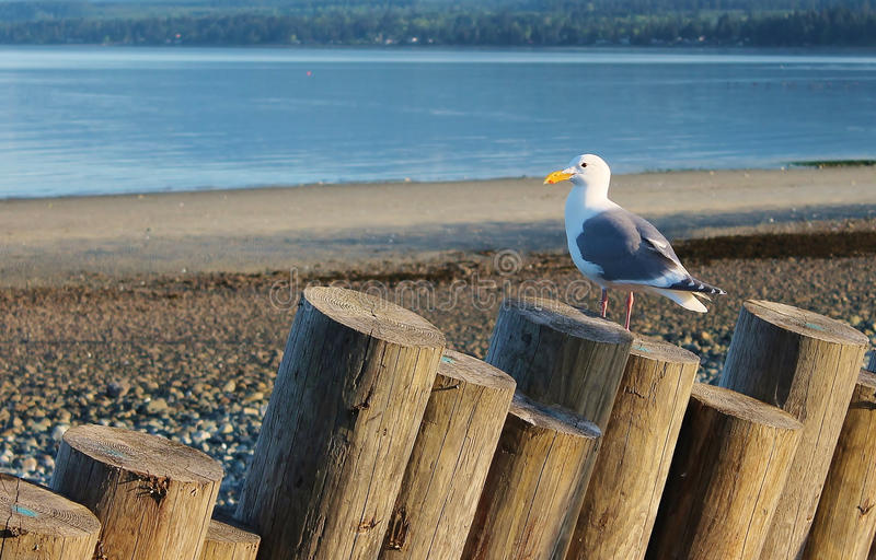Sea gull sitting on driftwood royalty free stock photos