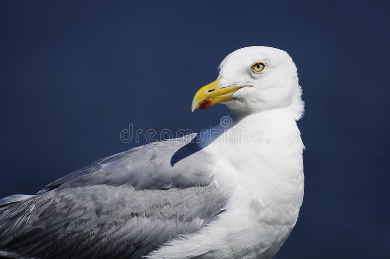 Sea gull sitting at ease in the morning sun. stock photos
