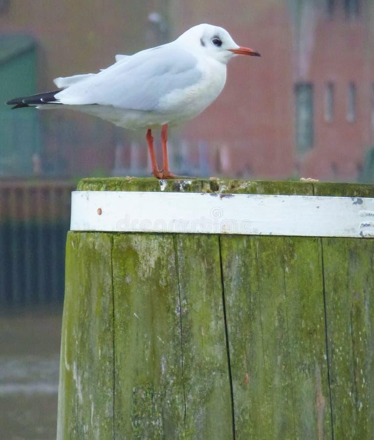 Sea gull sitting on a pole. Photo of a sea gull sitting on a pole royalty free stock photo