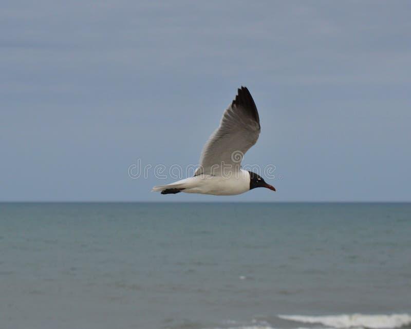 Sea Gull soaring over Atlantic Ocean royalty free stock image