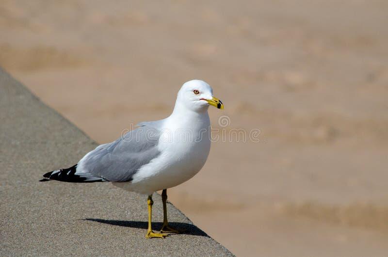 Sea gull standing watch stock image