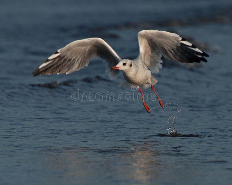 Black-headed Gull, Larus ridibundus flying. Just above the water after the west coast in Sweden stock photos