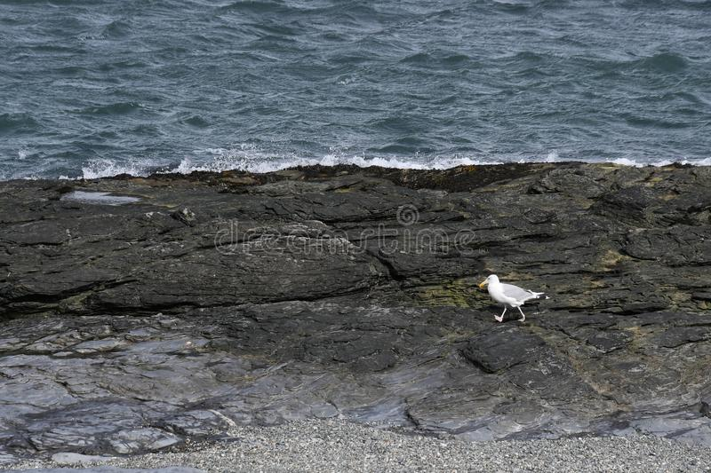 Sea Gull Strolling on the Rocky Coast of Rhode Island royalty free stock photography