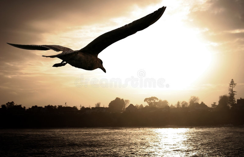 Sea gull at sunset. Sea gull flying over the ocean at sunset