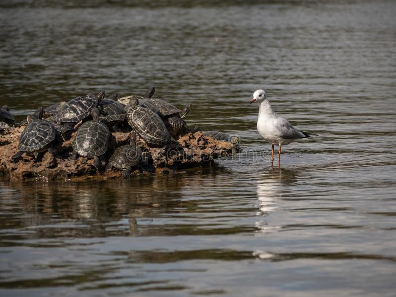 Sea gull watches a group of turtles on a rock in the middle of a park pond stock image