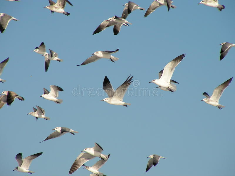 Sea Gulls Royalty Free Stock Photos