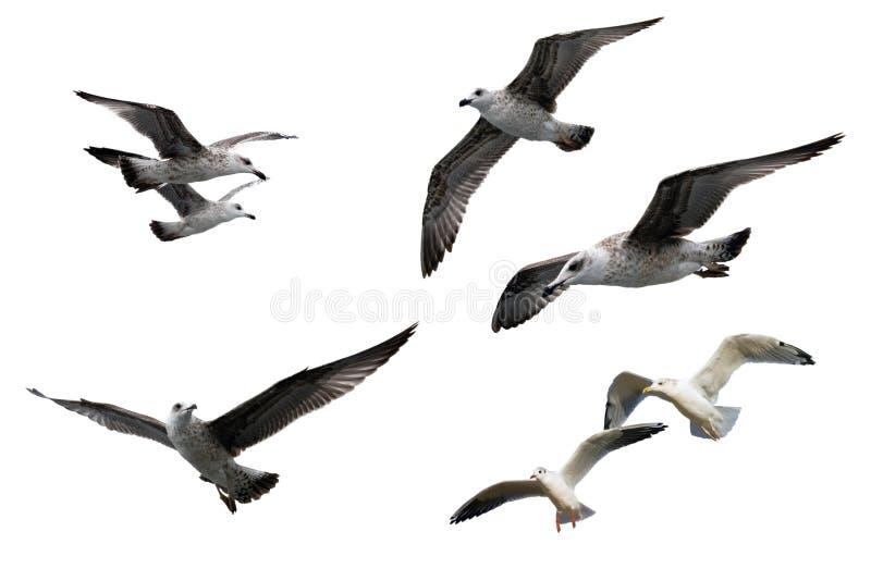 Sea gulls. In flight over the sea