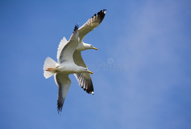 Sea gulls stock image