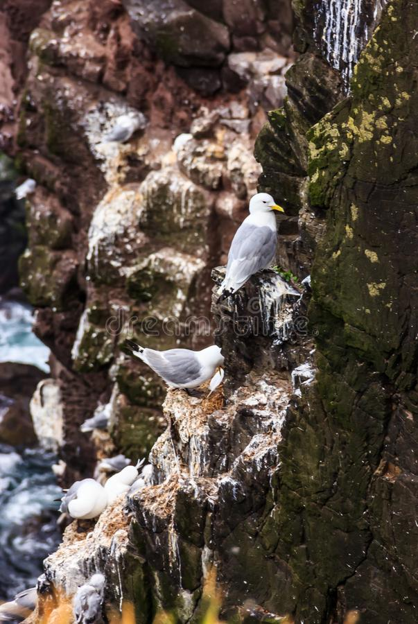 Sea Gulls, Bird Watching Summer Outdoors Activities at Latrabjarg Bird Cliff, Westfjords, Iceland, Europe. The 440 meter high cliffs are home to birds such as stock images
