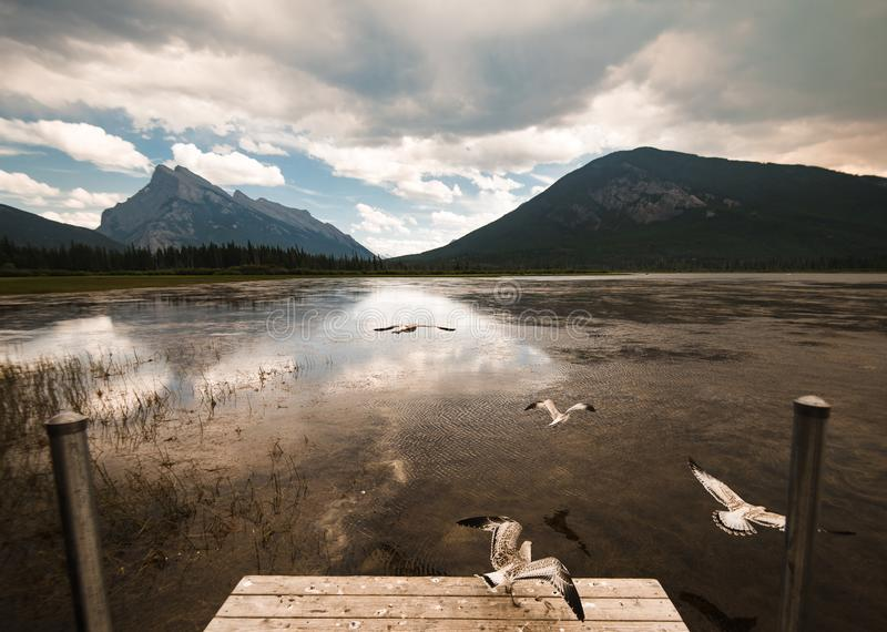 Sea gulls fly over the Vermilion Lakes during a smokey summer day royalty free stock photos