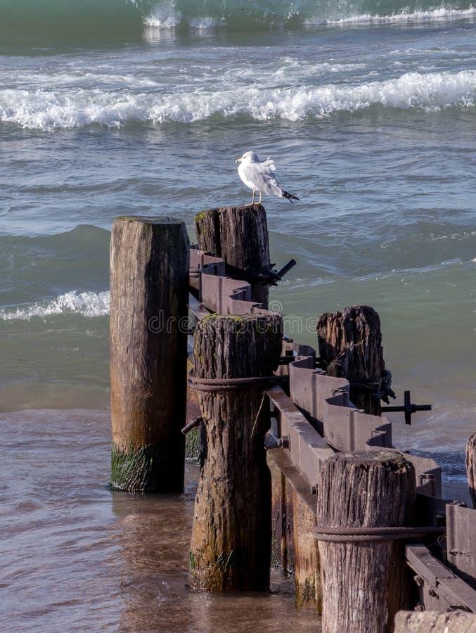 Sea gull on  the shores of lake michigan royalty free stock photo