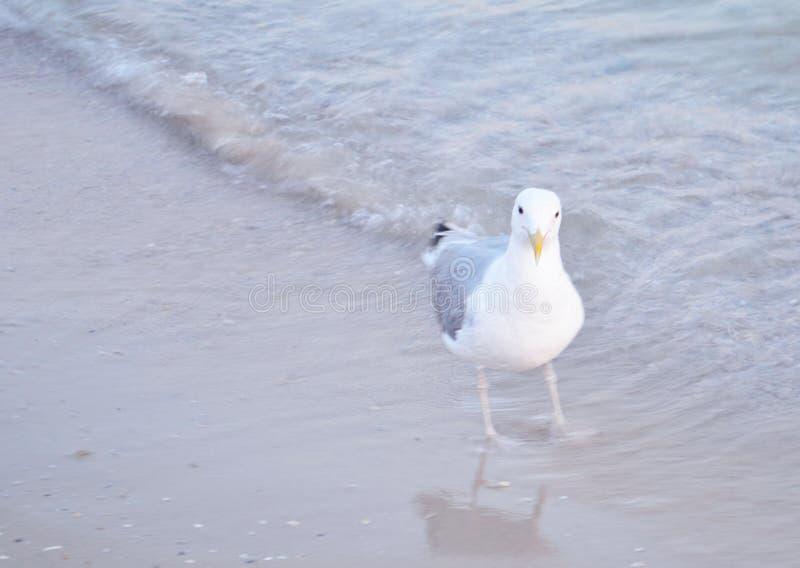 Sea gulls on a sandy beach near the waves royalty free stock photography