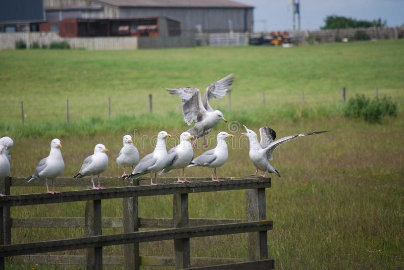 Sea gulls on separate parts of fence. Meadow and farm buildings in background above green grass stock photography