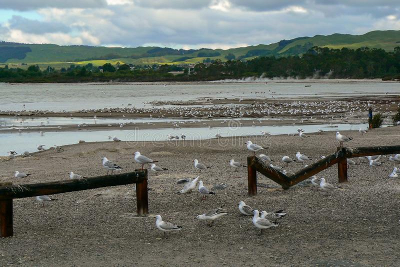 Sea gulls on the shore of Lake Rotorua, North Island, New Zealand. Sea gulls assembling on the beach of Lake Rotorua, North Island, New Zealand stock photo