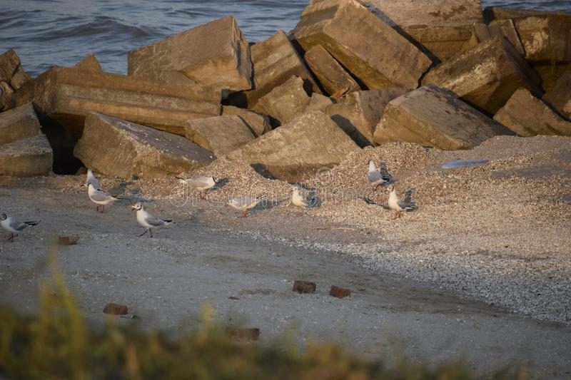 Sea gulls on the shore in the sea. Seagulls watching the waves. Sea gulls on the shore in the sea, wildlife, bay, natural, food, wind, water, rock, coast royalty free stock image