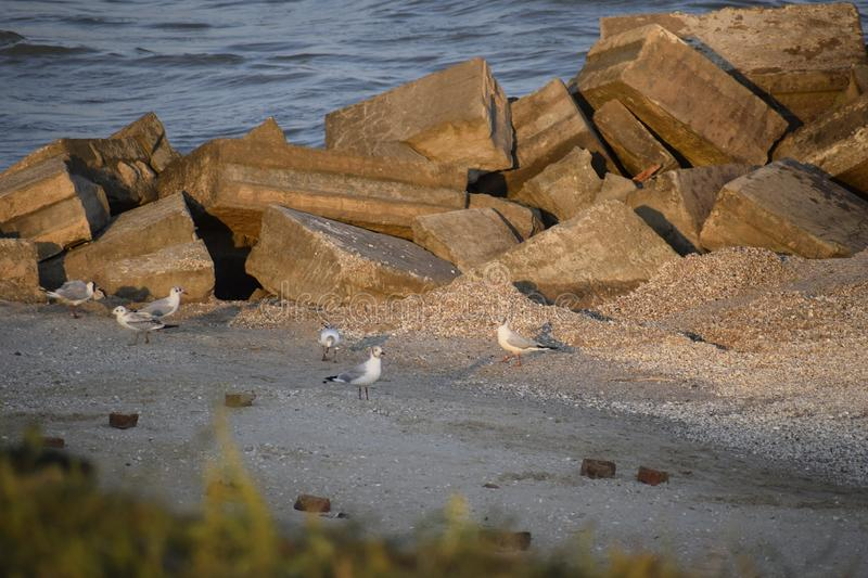 Sea gulls on the shore in the sea. Seagulls watching the waves. Sea gulls on the shore in the sea, wet, wildlife, wind, blue, vacation, stone, rocky, coast stock photo