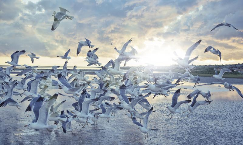 Sea gulls flying in the sun set over the sea stock photography