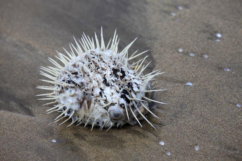 Sea hedgehog stock photography