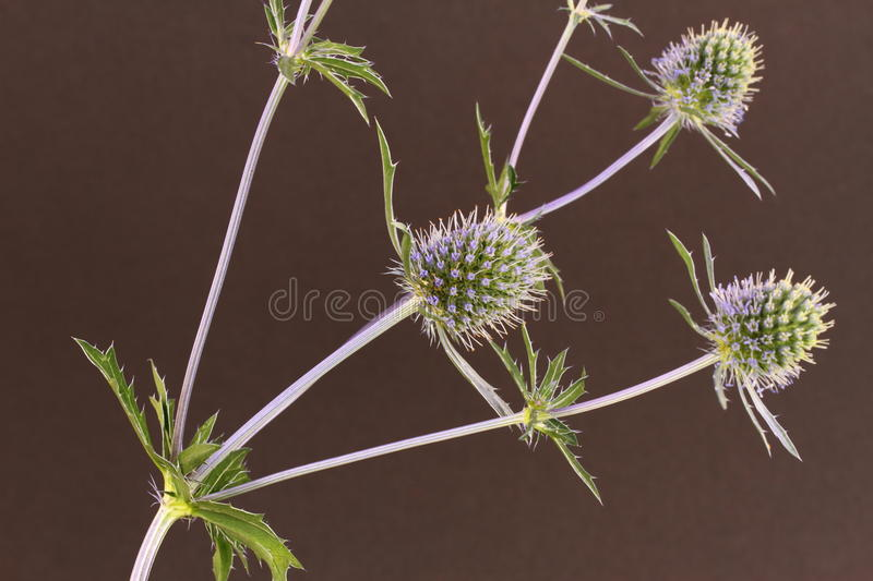 Download Sea Holly stock photo. Image of eryngium, plant, blue - 32683866