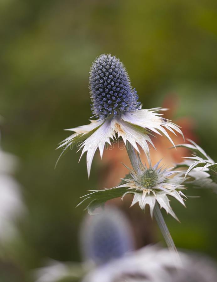 Download Sea Holly Macro stock photo. Image of blue, outdoors - 26376368