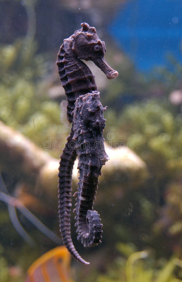 Download Sea Horses Stock Photography - Image: 500962