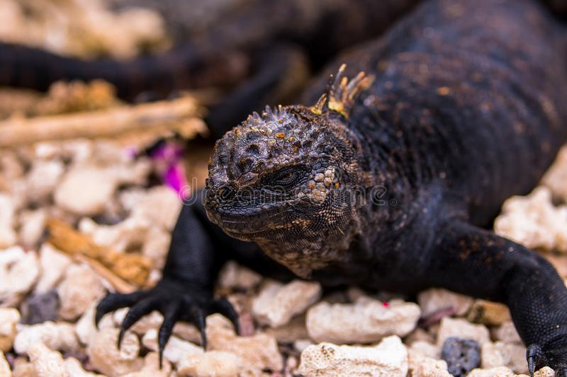 Sea Iguana only in Galapagos royalty free stock photo