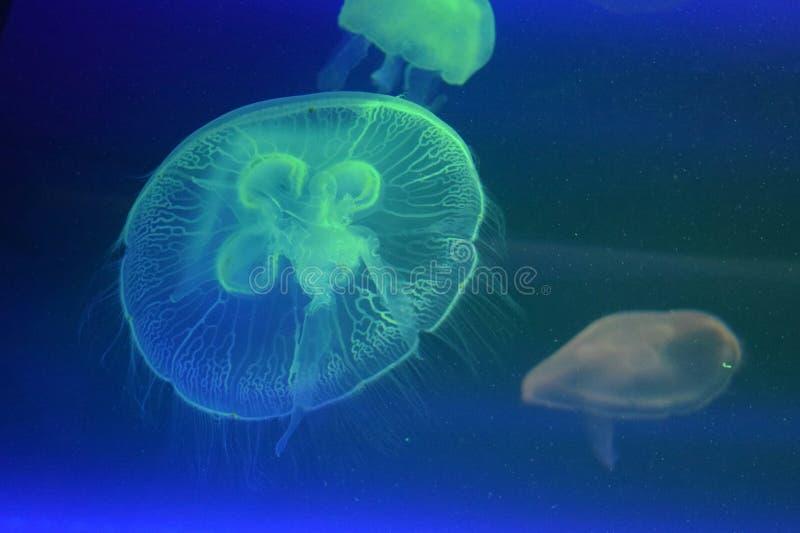 Sea jellies stock images