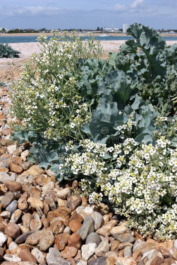 Sea Kale with Flowers. A sea kale, Crambe maritima,plant blooming with tiny flowers royalty free stock photo