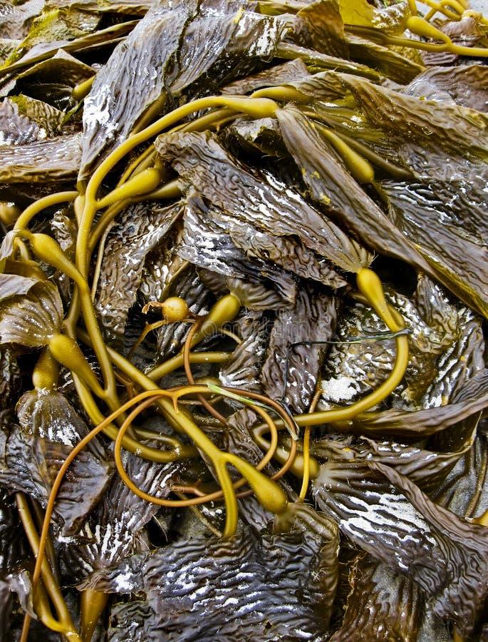 Sea Kelp on sandy ocean beach stock photography