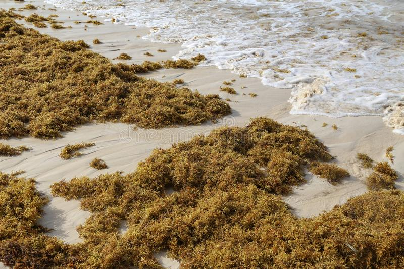 Sea kelp is stranded on the beaches stock photo