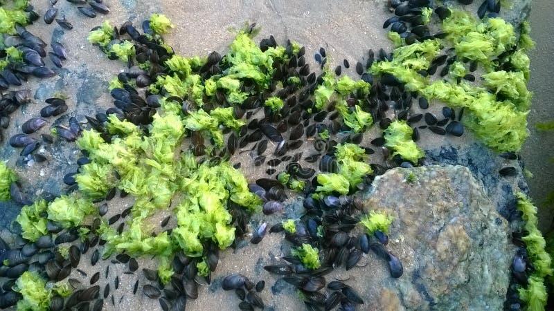 Sea Lettuce stock photography