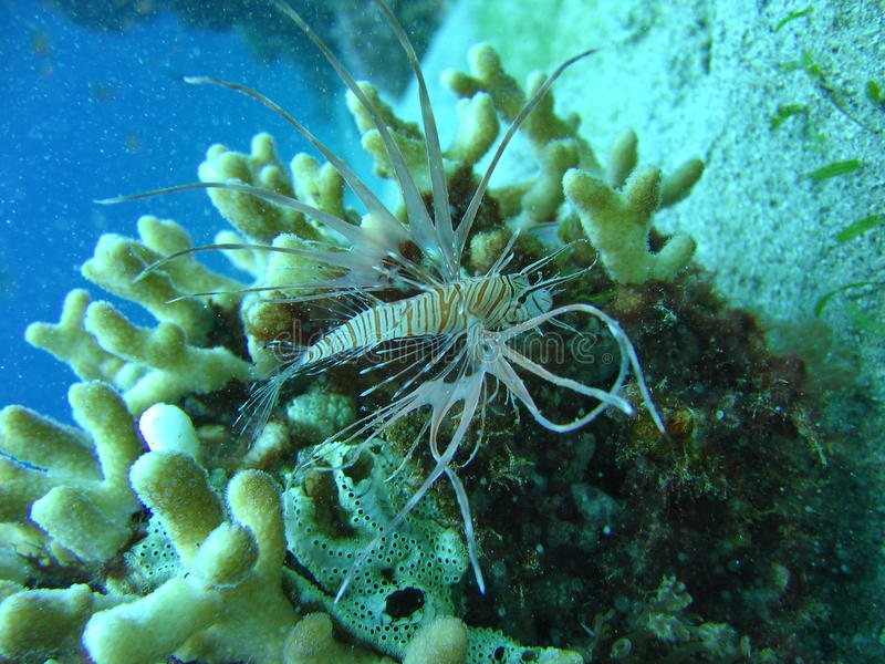 Sea life - a baby lionfish. Underwater photo, baby lionfish in the Red Sea in Israel stock photos