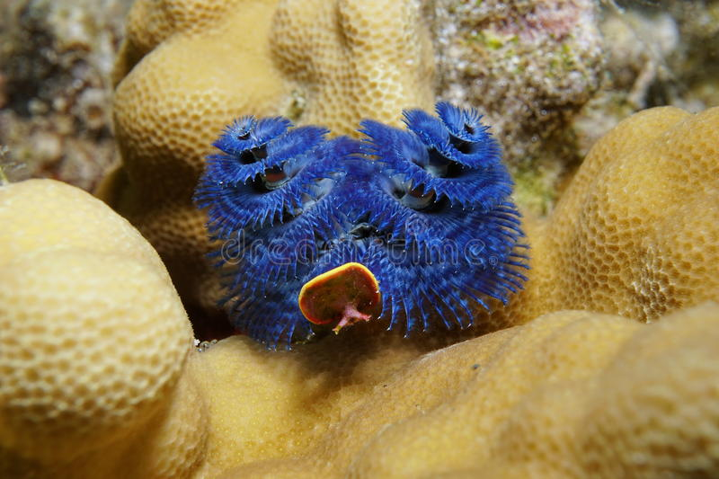 Sea life blue christmas tree worm Pacific ocean stock image