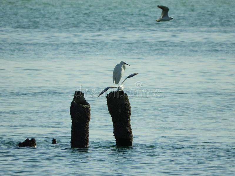 Sea birds and seagulls at the sea sitting on rusted pole. Sea life seagulls and other sea birds are playing on the rusted poles inside the sea, the sea life and stock photo