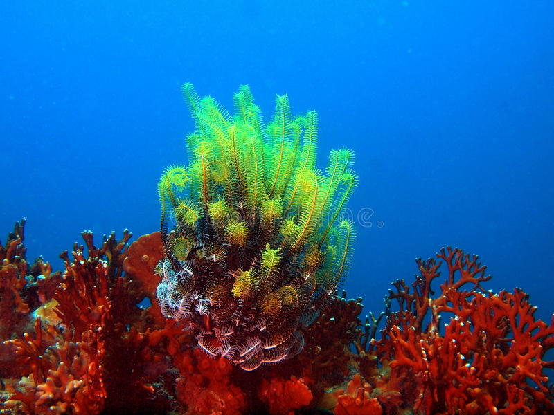 Download Sea lily stock photo. Image of animals, lily, underwater - 20819220