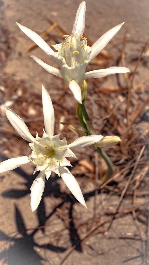 Sea lily white sand stock photos
