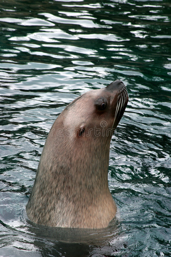 Download Sea lion stock photo. Image of captive, female, saltwater - 104882