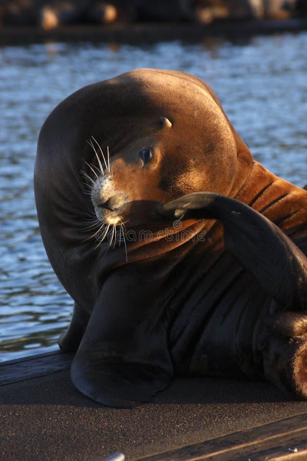 Free Sea Lion Stock Photography - 11317952