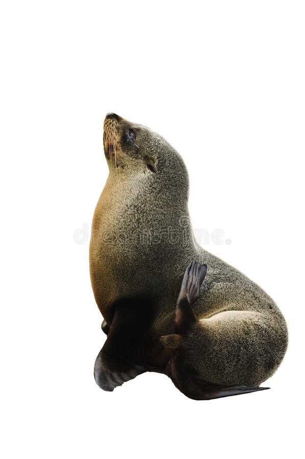 Free Sea Lion Royalty Free Stock Images - 14076279