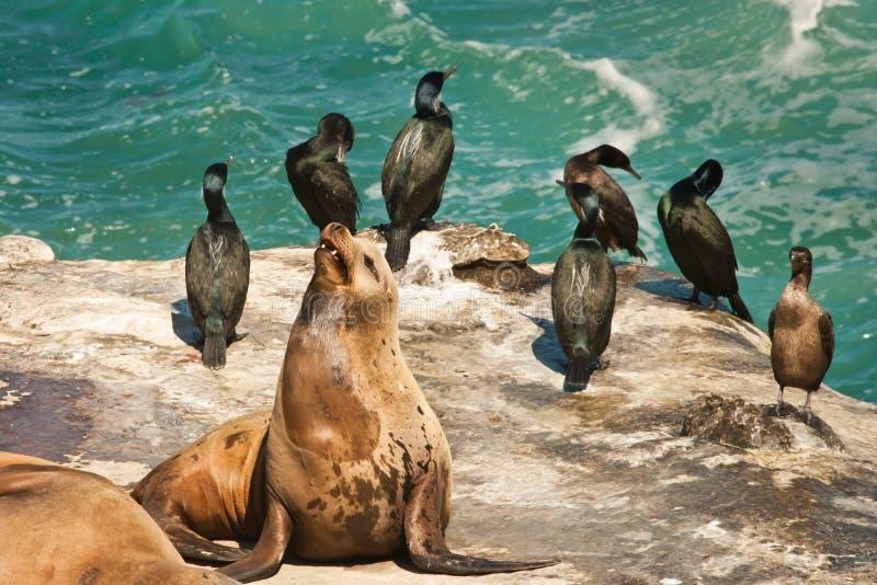 Download Sea Lion stock image. Image of californianus, zalophus - 24108729