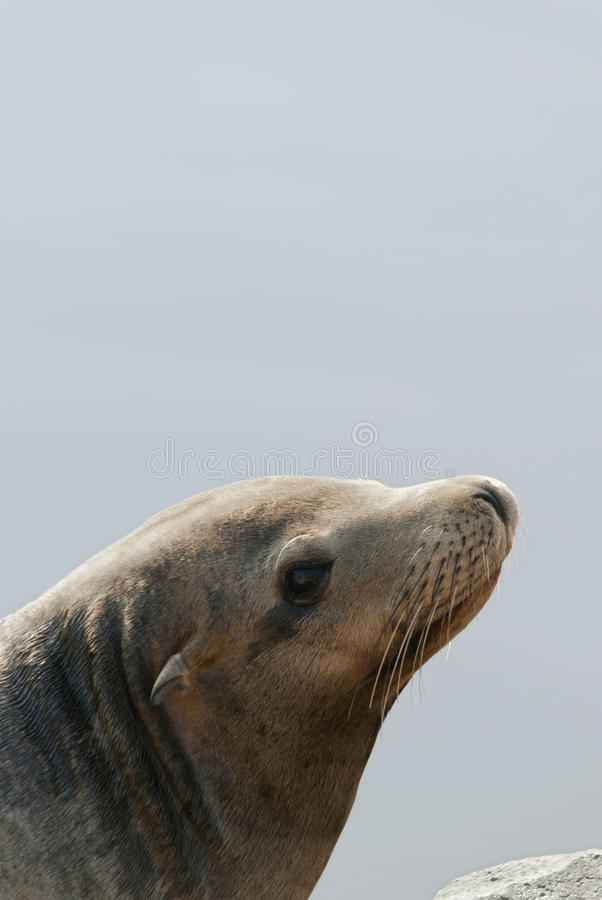 Download Sea Lion stock photo. Image of water, looking, seal, sealion - 24418320